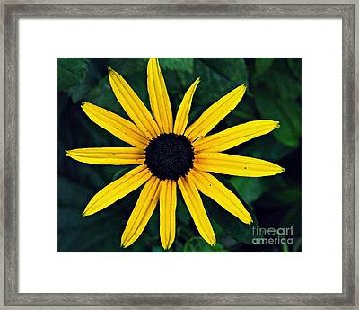 Black-eyed Susan Framed Print by Sarah Loft