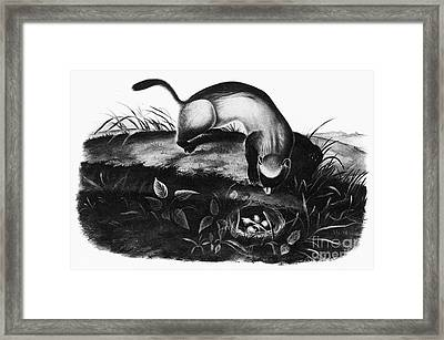 Black-footed Ferret Framed Print by Granger