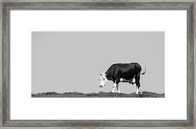 Black Hereford Framed Print by Wim Lanclus