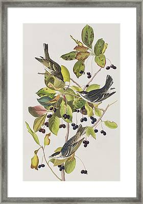 Black Poll Warbler Framed Print by John James Audubon