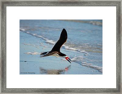 Black Skimmer Framed Print by Barbara Bowen