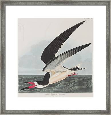Black Skimmer Or Shearwater Framed Print by John James Audubon