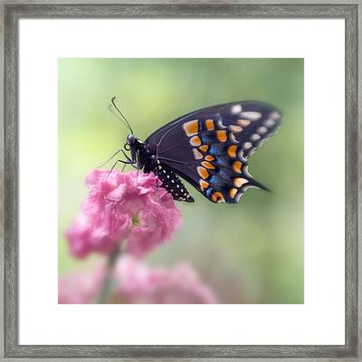 Black Swallowtail Butterfly IIi Framed Print by David and Carol Kelly