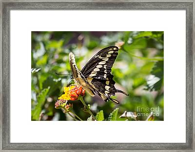 Black Swallowtail Butterfly Framed Print by Robert Bales