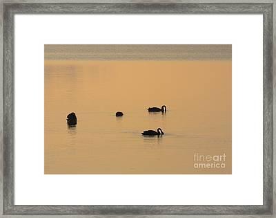 Black Swan Dawn Framed Print by Mike Dawson