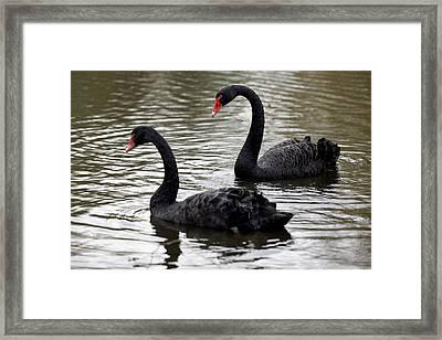 Black Swans Framed Print by Denise Swanson