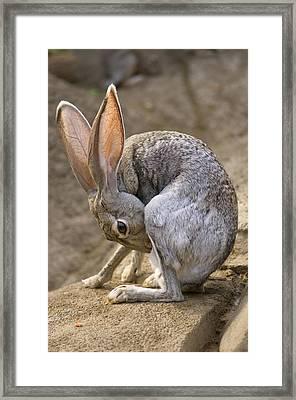 Black-tailed Jackrabbit Lepus Framed Print by Joel Sartore