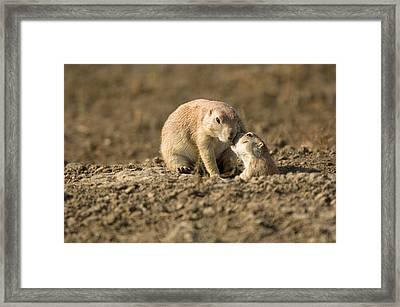 Black-tailed Prairie Dogs In Eastern Framed Print by Joel Sartore