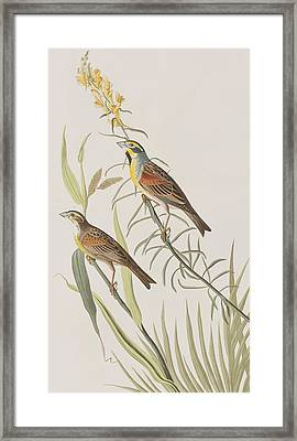 Black-throated Bunting Framed Print by John James Audubon