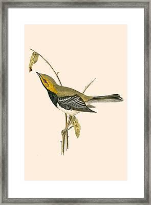 Black Throated Warbler Framed Print by English School