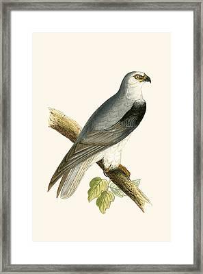 Black Winged Kite Framed Print by English School