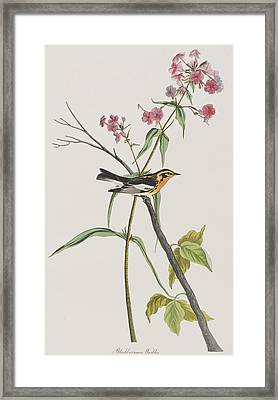 Blackburnian Warbler Framed Print by John James Audubon