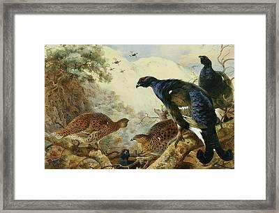 Blackgame Or Black Grouse Framed Print by Archibald Thorburn