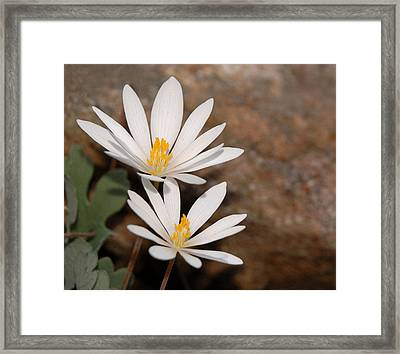 Bloodroot Flowers Framed Print by Lara Ellis