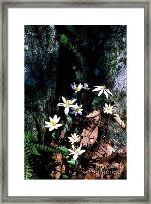 Bloodroot In Sunlight Framed Print by Thomas R Fletcher