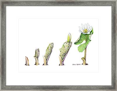 Bloodroot Unfolding II Framed Print by Betsy Gray