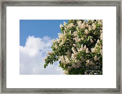 blooming Aesculus on blue sky in sunlight  Framed Print by Arletta Cwalina