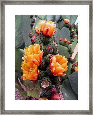 Blooming Cactus Framed Print by Harvie Brown
