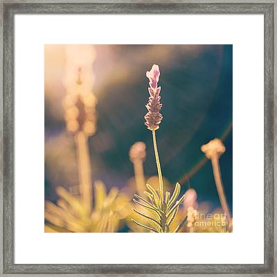 Blooming Lavender - Hipster Photo Square Framed Print by Charmian Vistaunet