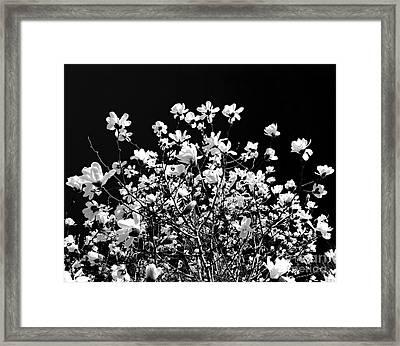 Blooming Magnolia Tree Framed Print by Elena Elisseeva