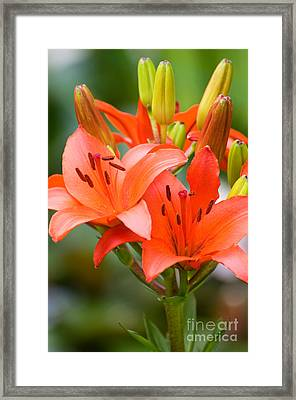 Blooming Orange Lily Flowers And Buds  Framed Print by Arletta Cwalina
