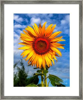 Blooming Sunflower  Framed Print by Adrian Evans