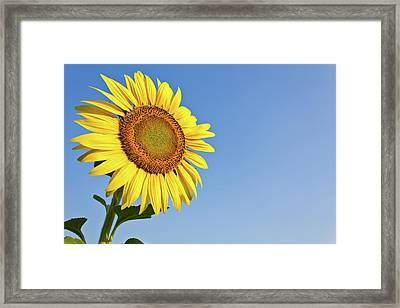 Blooming Sunflower In The Blue Sky Background Framed Print by Tosporn Preede