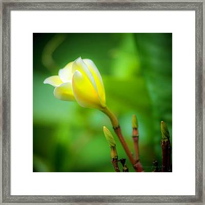 Blooming Yellow Framed Print by Marvin Spates