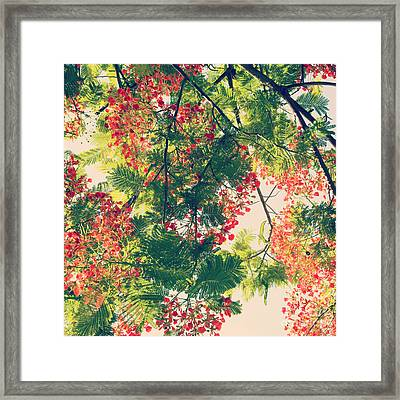 Blossoming Royal Poinciana Tree - Hipster Photo Square Framed Print by Charmian Vistaunet