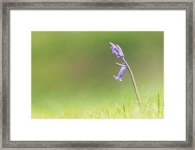 Blubell Framed Print by Ian Hufton