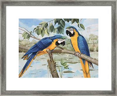 Blue And Gold Macaws Framed Print by William Albanese Sr