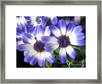 Blue Bi-color Pericallis Senetti Framed Print by Dorothy Lee