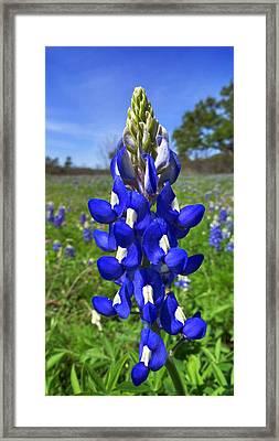 Blue Bonnet Framed Print by Skip Hunt