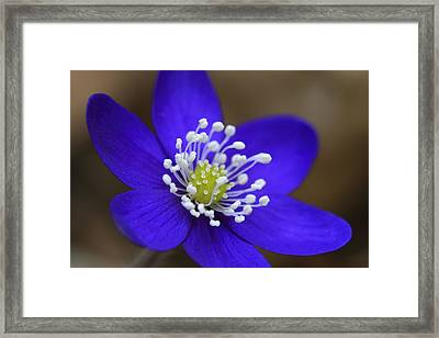Blue Buttercup Framed Print by Romeo Koitmae