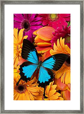 Blue Butterfly On Brightly Colored Flowers Framed Print by Garry Gay