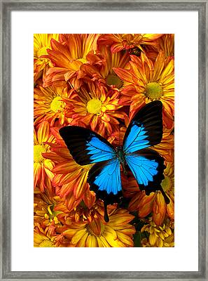 Blue Butterfly On Mums Framed Print by Garry Gay
