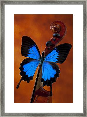 Blue Butterfly On Violin Framed Print by Garry Gay