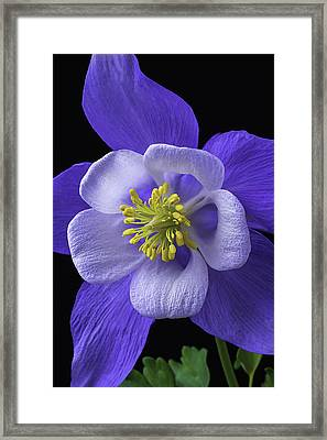 Blue Columbine Framed Print by Garry Gay