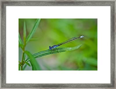 Blue Dragonfly Framed Print by Az Jackson