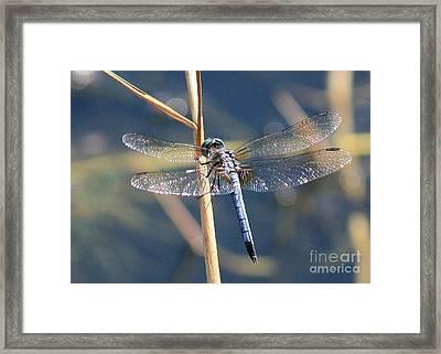 Blue Dragonfly Framed Print by Carol Groenen
