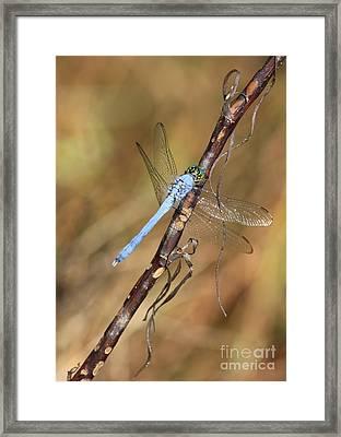 Blue Dragonfly Portrait Framed Print by Carol Groenen