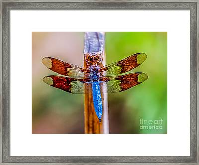 Blue Dragonfly Framed Print by Robert Bales