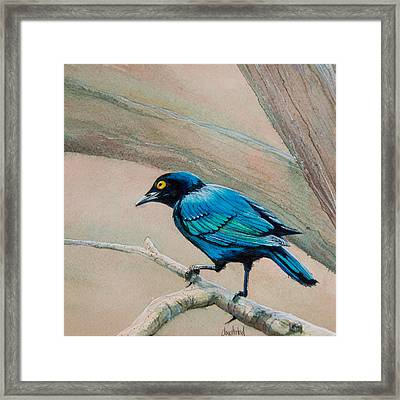 Blue-eared Starling Framed Print by Dave Whited