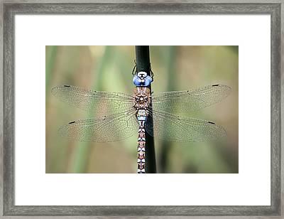 Blue-eyed Darner Framed Print by Windy Corduroy