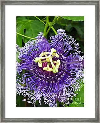 Blue Eyed Suzy Framed Print by Colleen Kammerer
