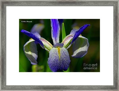 Blue Flag Iris Framed Print by Barbara Bowen