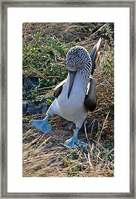 Blue-footed Booby Courtship Dance Framed Print by Larry Linton