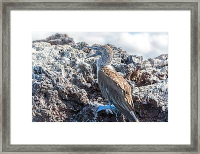 Blue Footed Booby Framed Print by Jess Kraft