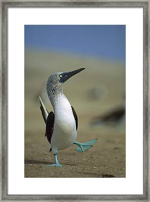 Blue-footed Booby Sula Nebouxii Framed Print by Tui De Roy