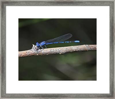 Blue-fronted Dancer Framed Print by Becca Buecher